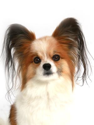 エムドッグス,動物プロダクション,ペットモデル,ペットタレント,モデル犬,タレント犬,パピヨン,なな