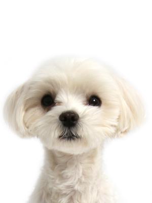 エムドッグス,動物プロダクション,ペットモデル,ペットタレント,モデル犬,タレント犬,マルチーズ,ひまわり