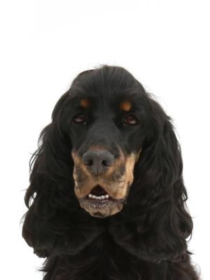 エムドッグス,動物プロダクション,ペットモデル,ペットタレント,モデル犬,タレント犬,イングリッシュコッカースパニエル,ねろり