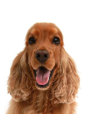 エムドッグス,動物プロダクション,ペットモデル,ペットタレント,モデル犬,タレント犬,イングリッシュコッカースパニエル,りぃず
