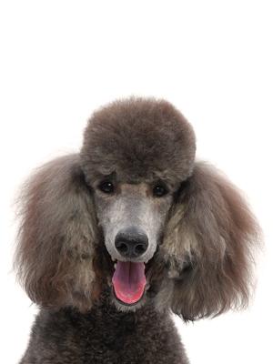 エムドッグス,動物プロダクション,ペットモデル,ペットタレント,モデル犬,タレント犬,スタンダードプードル,サラ