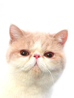 エムドッグス,動物プロダクション,ペットモデル,ペットタレント,モデル猫,タレント猫,エキゾチックショートヘア,おこめ