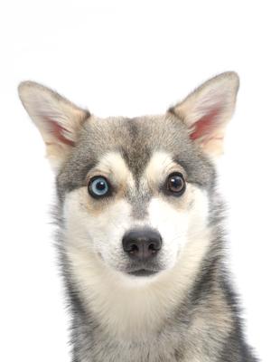 エムドッグス,動物プロダクション,ペットモデル,ペットタレント,モデル犬,タレント犬,アラスカンクリーカイ,アンバー
