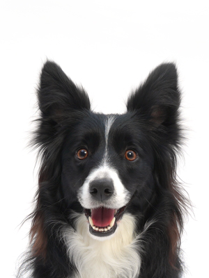 エムドッグス,動物プロダクション,ペットモデル,ペットタレント,モデル犬,タレント犬,ボーダーコリー,ウニ