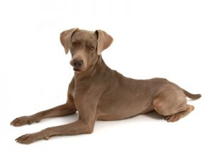 エムドッグス,動物プロダクション,ペットモデル,ペットタレント,モデル犬,タレント犬,ワイマラナー,ウィル