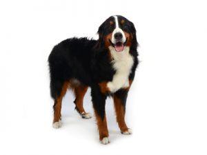 エムドッグス,動物プロダクション,ペットモデル,ペットタレント,モデル犬,タレント犬,バーニーズマウンテンドッグ,Buona(ボナ)