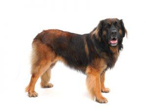 エムドッグス,動物プロダクション,ペットモデル,ペットタレント,モデル犬,タレント犬,レオンベルガー,そら