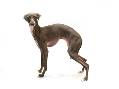 エムドッグス,動物プロダクション,ペットモデル,ペットタレント,モデル犬,タレント犬,イタリアングレーハウンド,Lino,りの
