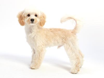 ペットモデルのミックス犬Lent