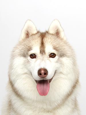 エムドッグス,動物プロダクション,ペットモデル,ペットタレント,モデル犬,タレント犬,シベリアンハスキー,ジャーマン