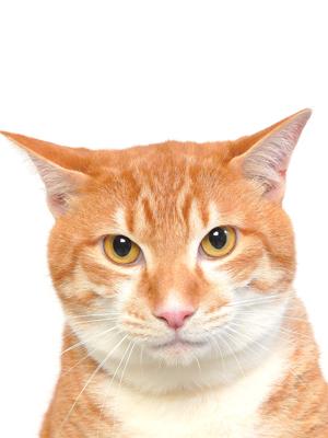 エムドッグス,動物プロダクション,ペットモデル,ペットタレント,モデル猫,タレント猫,MIX,風太(ふーた)