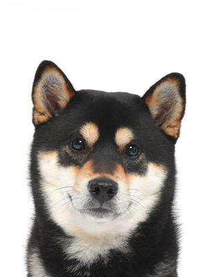エムドッグス,動物プロダクション,ペットモデル,ペットタレント,モデル犬,タレント犬,柴犬,ラニ