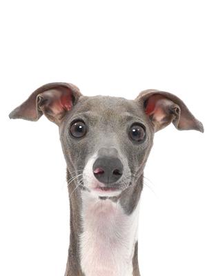 エムドッグス,動物プロダクション,ペットモデル,ペットタレント,モデル犬,タレント犬,イタリアングレイハウンド,カンナ
