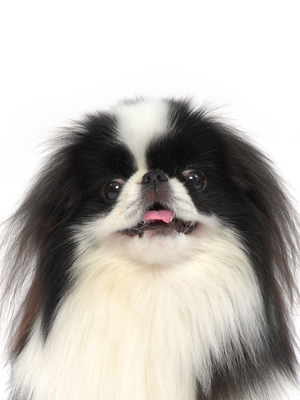 エムドッグス,動物プロダクション,ペットモデル,ペットタレント,モデル犬,タレント犬,狆,平蔵(へいぞう)