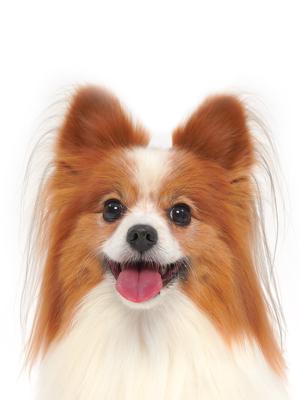エムドッグス,動物プロダクション,ペットモデル,ペットタレント,モデル犬,タレント犬,パピヨン,日向(ひゅうが)