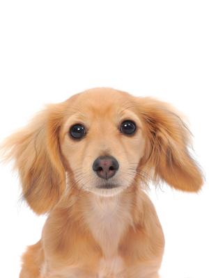 エムドッグス,動物プロダクション,ペットモデル,ペットタレント,モデル犬,タレント犬,カニンヘン・ダックスフンド,ラナ