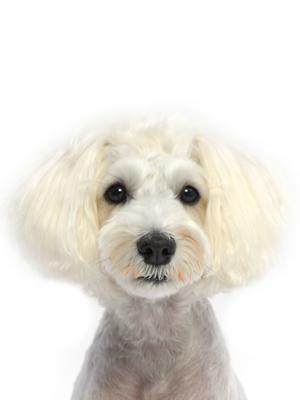 エムドッグス,動物プロダクション,ペットモデル,ペットタレント,モデル犬,タレント犬,ミニチュアシュナウザー,SARAH(サラ)