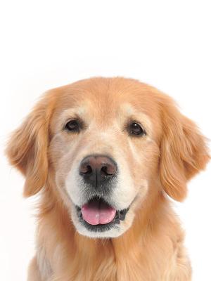 エムドッグス,動物プロダクション,ペットモデル,ペットタレント,モデル犬,タレント犬,ゴールデンレトリーバー,かおる