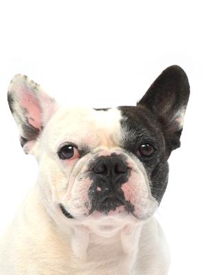 エムドッグス,動物プロダクション,ペットモデル,ペットタレント,モデル犬,タレント犬,フレンチブルドッグ,ボン