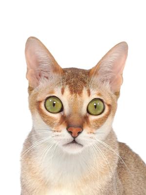 エムドッグス,動物プロダクション,ペットモデル,ペットタレント,モデル猫,タレント猫,シンガプーラ,てった