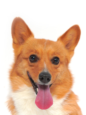 エムドッグス,動物プロダクション,ペットモデル,ペットタレント,モデル犬,タレント犬,ウェルシュコーギー,ちくわ