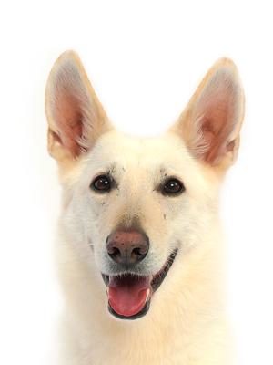 エムドッグス,動物プロダクション,ペットモデル,ペットタレント,モデル犬,タレント犬,ホワイトスイスシェパードドッグ,レイ