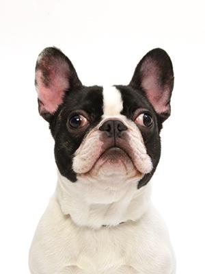エムドッグス,動物プロダクション,ペットモデル,ペットタレント,モデル犬,タレント犬,フレンチブルドッグ,こたろう