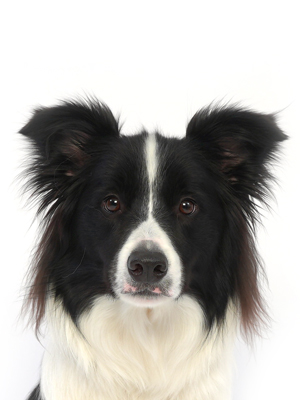 エムドッグス,動物プロダクション,ペットモデル,ペットタレント,モデル犬,タレント犬,ボーダーコリー,ポン