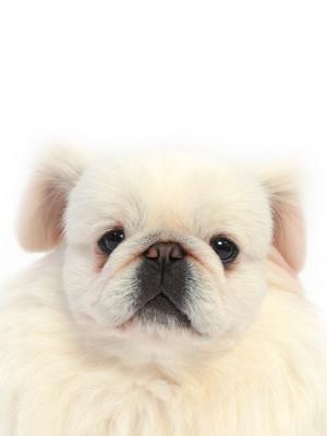 エムドッグス,動物プロダクション,ペットモデル,ペットタレント,モデル犬,タレント犬,ペキニーズ,める