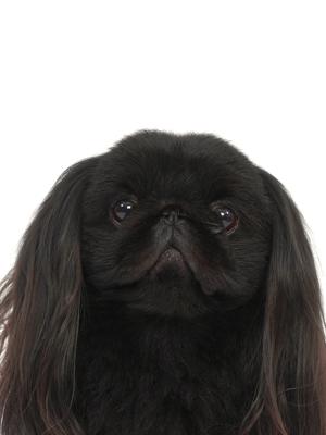 エムドッグス,動物プロダクション,ペットモデル,ペットタレント,モデル犬,タレント犬,ペキニーズ,れお