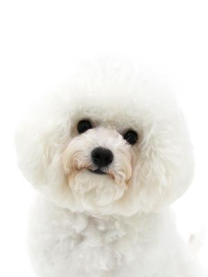 エムドッグス,動物プロダクション,ペットモデル,ペットタレント,モデル犬,タレント犬,ビションフリーゼ,ファーイ