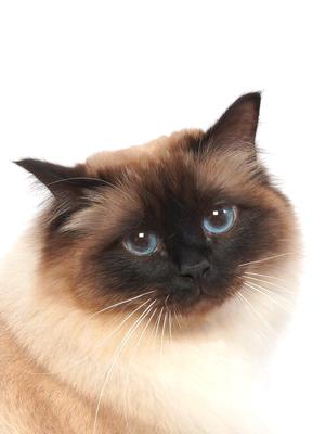 エムドッグス,動物プロダクション,ペットモデル,ペットタレント,モデル猫,タレント猫,バーマン,シリウス