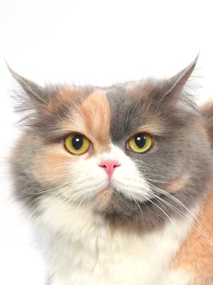 エムドッグス,動物プロダクション,ペットモデル,ペットタレント,モデル猫,タレント猫,MIX,ショパン