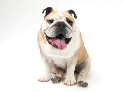 エムドッグス,動物プロダクション,ペットモデル,ペットタレント,モデル犬,タレント犬,イングリッシュブルドッグ,ブーケ