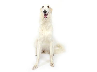 エムドッグス,動物プロダクション,ペットモデル,ペットタレント,モデル犬,タレント犬,ボルゾイ,モナ