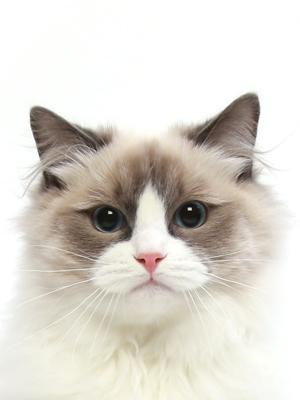 エムドッグス,動物プロダクション,ペットモデル,ペットタレント,モデル猫,タレント猫,ラグドール,プティ