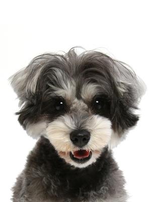 エムドッグス,動物プロダクション,ペットモデル,ペットタレント,モデル犬,タレント犬,ミニチュアシュナウザー,メッチェンバウム