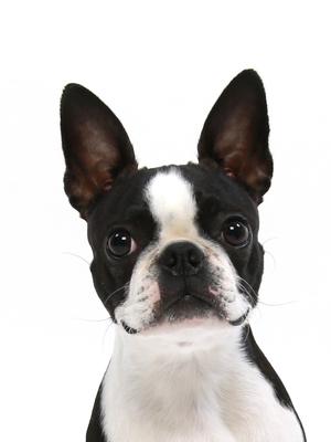 エムドッグス,動物プロダクション,ペットモデル,ペットタレント,モデル犬,タレント犬,ボストンテリア,うずめ