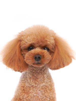 エムドッグス,動物プロダクション,ペットモデル,ペットタレント,モデル犬,タレント犬,トイプードル,ゆめ