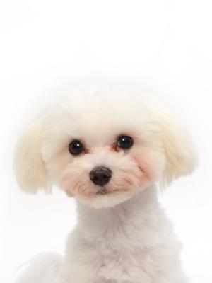 エムドッグス,動物プロダクション,ペットモデル,ペットタレント,モデル犬,タレント犬,マルチーズ,ぷっち