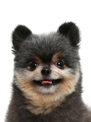 エムドッグス,動物プロダクション,ペットモデル,ペットタレント,モデル犬,タレント犬,ポメラニアン,けんけん
