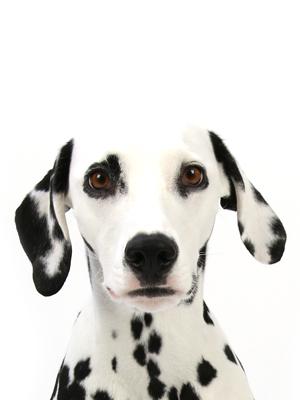 エムドッグス,動物プロダクション,ペットモデル,ペットタレント,モデル犬,タレント犬,ダルメシアン,サリー