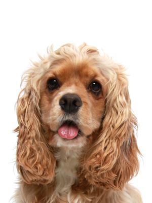 エムドッグス,動物プロダクション,ペットモデル,ペットタレント,モデル犬,タレント犬,アメリカンコッカースパニエル,ハリー