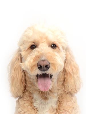 エムドッグス,動物プロダクション,ペットモデル,ペットタレント,モデル犬,タレント犬,ゴールデンドゥードル,セブン