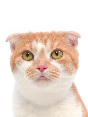 エムドッグス,動物プロダクション,ペットモデル,ペットタレント,モデル猫,タレント猫,スコティッシュフォールド,チャーミー