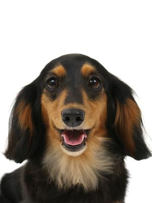 エムドッグス,動物プロダクション,ペットモデル,ペットタレント,モデル犬,タレント犬,ミニチュアダックスフンド,アズナヴール