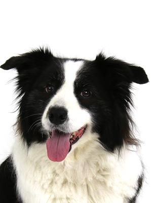 エムドッグス,動物プロダクション,ペットモデル,ペットタレント,モデル犬,タレント犬,ボーダーコリー,チェルシー