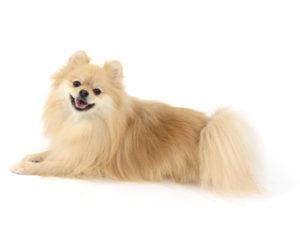 エムドッグス,動物プロダクション,ペットモデル,ペットタレント,モデル犬,タレント犬,ポメラニアン,ノエル