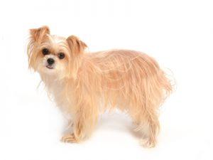 エムドッグス,動物プロダクション,ペットモデル,ペットタレント,モデル犬,タレント犬,MIX,モモ