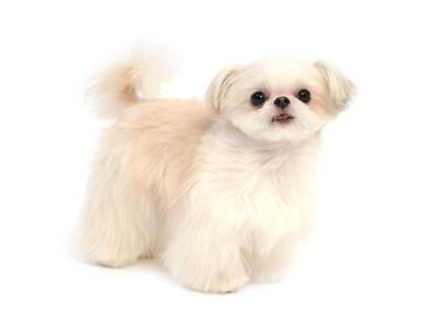 エムドッグス,動物プロダクション,ペットモデル,ペットタレント,モデル犬,タレント犬,シーズー,Baby(ベイビー)